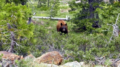 Brown bear showing up for a photo shoot!. Photo by Steve Lewis.