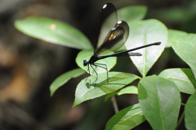 A female Ebony Jewelwing (Calopteryx maculata) sunning on a leaf. Photo by Mark Musselman.