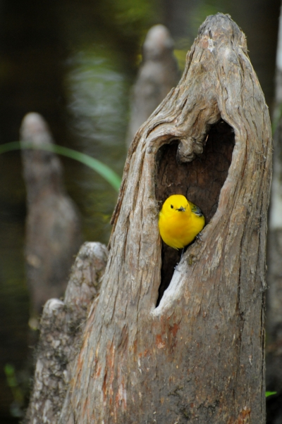 Prothonotary Warblers are the only cavity-nesting wood warblers in North America. Photo by Mark Musselman.