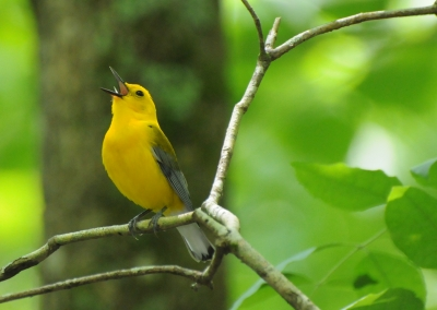 Male Prothonotary Warbler singing on his territory. Photo by Mark Musselman.