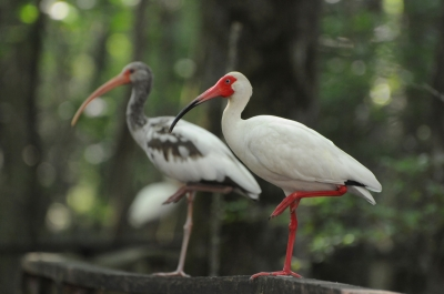 A White Ibis adult and juvenile resting on the boardwalk handrail. Photo by Mark Musselman.
