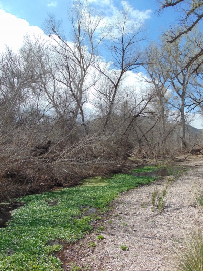 Arivaca Creek, overgrown with water weeds, near the ruins of the Wilbur Ranch. Photo by The Old Pueblo wiki.