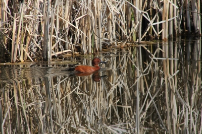 Cinnamon Teal. Photo by Kimi Smith.