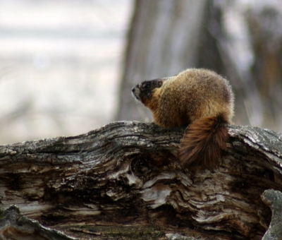 Woodchuck. Photo by Kimi Smith.
