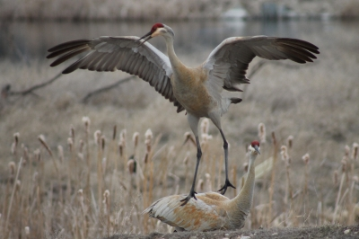 Sandhill Crane. Photo by Kimi Smith.