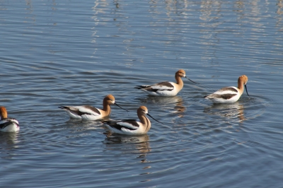 Avocets. Photo by Kimi Smith.
