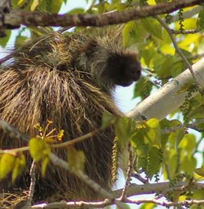 Porcupine. Photo by Kimi Smith.