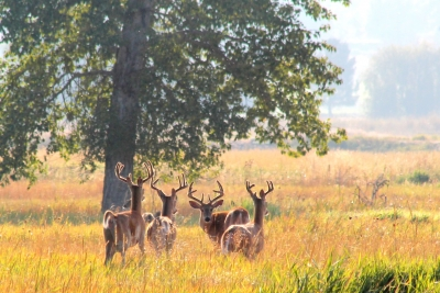 Bucks in the meadow. Photo by Kimi Smith.