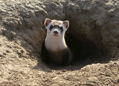 Black-footed Ferret. Photo by USFWS.