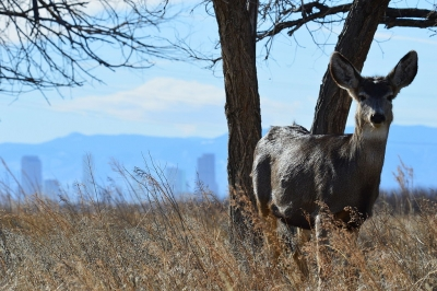 This mule deer doe seems to be welcoming visitors to Colorado. With the downtown Denver skyline and the Rocky Mountain Front Ran. Photo by Ryan Moehring / USFWS.