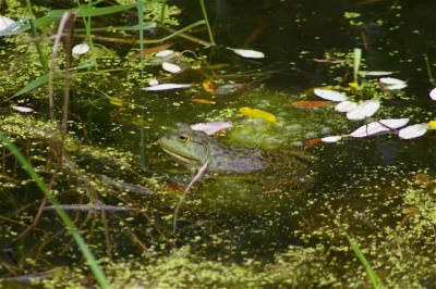 Bullfrog along rail-trail. Courtesy of Trailkeepers of Oregon. Photo by John Sparks.