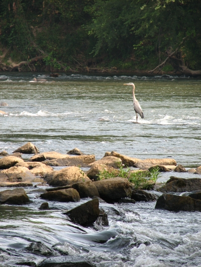 The Congaree River Blue Trail is home to wildlife, such as this Great Blue Heron. Photo by Jamie Mierau.