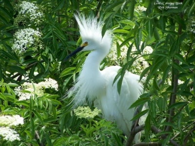 A male Snowy Egret trying to attract a mate in the Backcountry Trail. Photo by Rick Sherman.