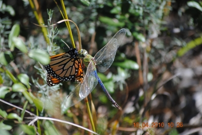 A rare site showing a Dragonfly chowing down on a Monarch Butterfly! Photo by Sean Thomas Brumley.