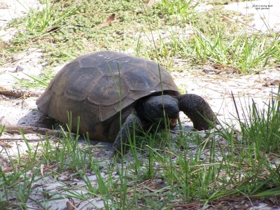 Gopher Tortoise. Photo by Rick Sherman.