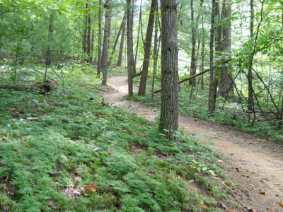 Trail flows through old growth forest