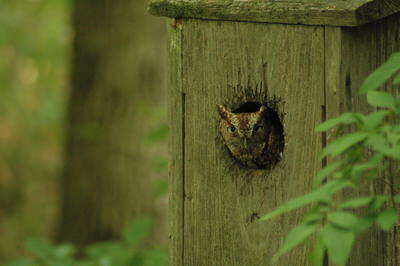 Eastern Screech Owl in a Wood Duck box