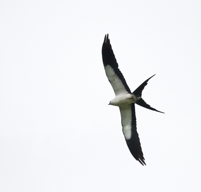 Swallow tail kites soar above the Wacissa