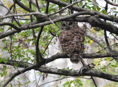 A barred owl along the trail. Photo by Doug Alderson.
