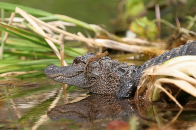 Young alligator along the Wacissa River. Photo by Doug Alderson.
