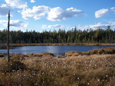 Picture of Cotton Grass at Mud Pond.