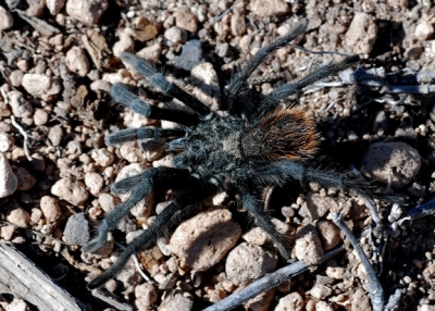 Tarantulas are commonly seen on the Frijolito Loop Trail in autumn. Photo by Sally King courtesy NPS.