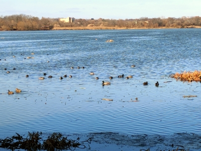 Waterfowl seen from the East Impoundment Trail.  12-1-2017. Photo by Jim Walla.