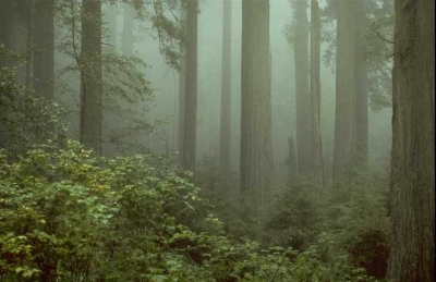 Coast redwoods (Sequoia sempervirens) in fog. Photo by National Park Service.