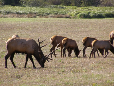 Bull elk grazing on meadow. Photo by National Park Service.