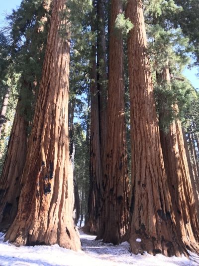 Groves of Sequoias along the trail. Photo by Pam Riches.