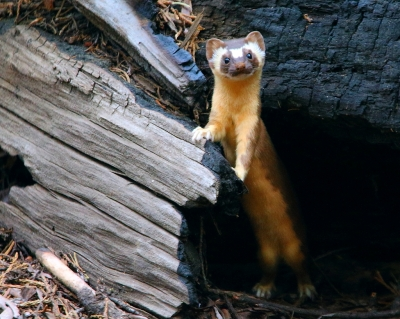 Long-tailed weasel near the House Group on the Congress Trail. Photo by I-Ting Chiang.