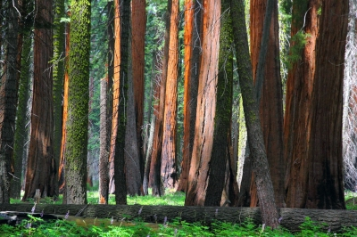 Giant Sequoias on the Congress Trail in Sequoia National Park. Photo by I-Ting Chiang.