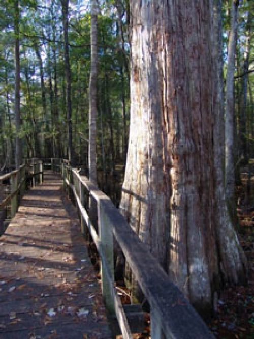 photo: FRANCIS BEIDLER FOREST FOUR HOLES SWAMP TRAIL