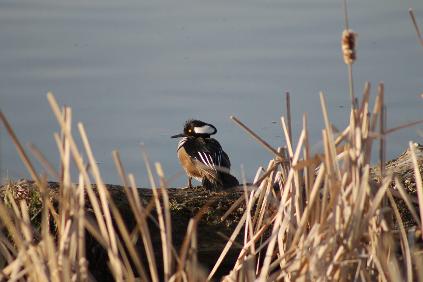 photo: Hooded Merganser. Photo by Kimi Smith.