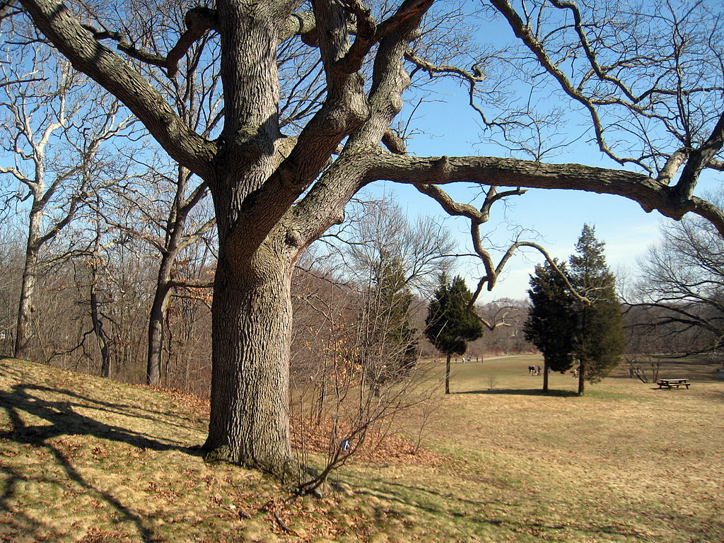 photo: One of the 22 white oak trees known as the Waverly Oaks. Photo by Daderot.