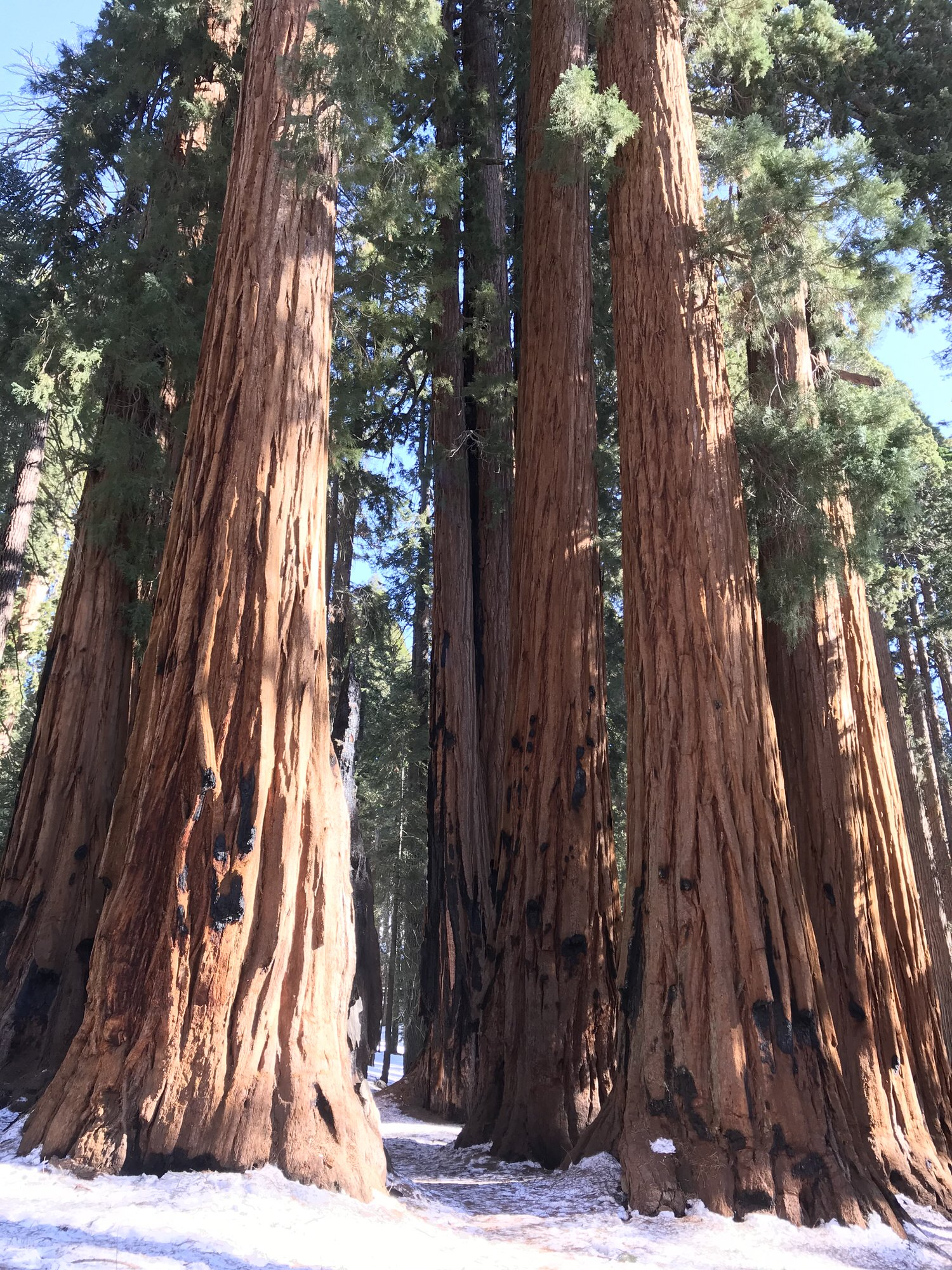photo: Groves of Sequoias along the trail. Photo by Pam Riches.